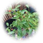 ブルーベリーを苗木から育てる!ティフブルー+ウッダード2品種栽培6点セットを購入しました!!